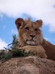 Damisi teenage lion at Antelope Park Zimbabwe