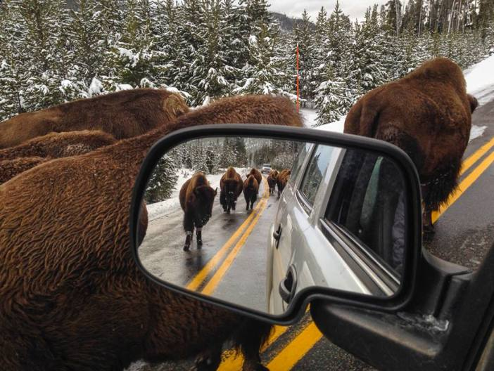 Yellowstone National Park animals