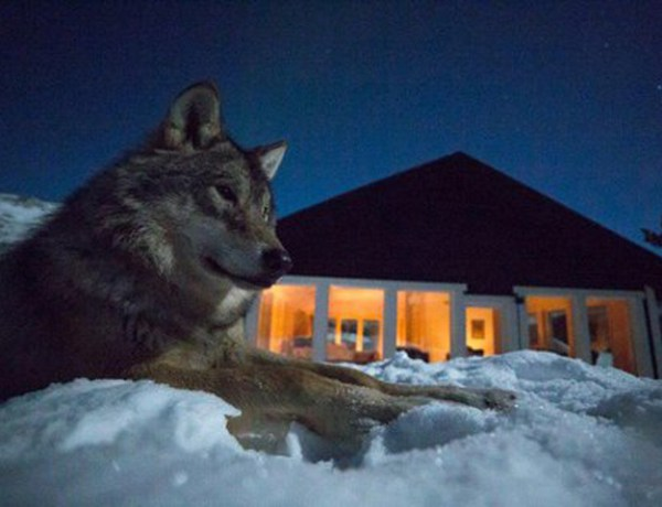 Wolf Lodge Polar Park Norway wolf