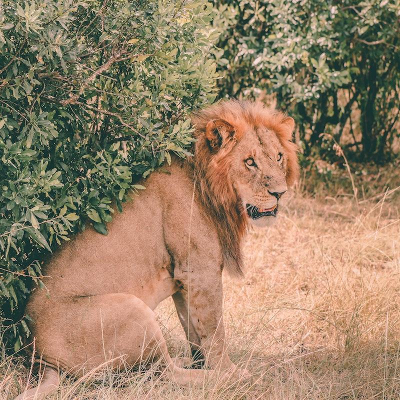 Lion, Masai Mara National Reserve, Kenya.