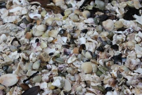 Seashells on a hidden beach near Titirangi, Auckland, NZ