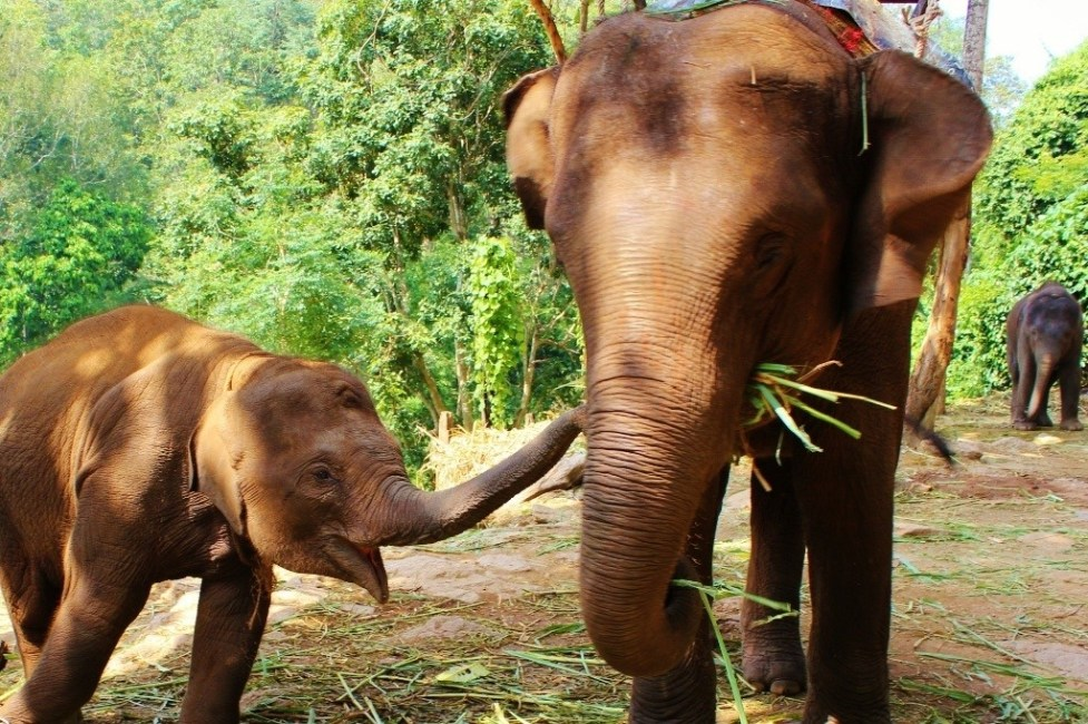 Baby and Mama elephant eat lunch in Chiang Mai, Thailand