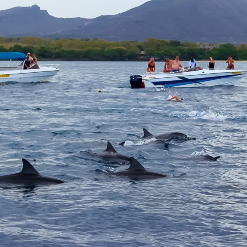 Dolphins swim by boats in Tamarin Bay, Mauritius