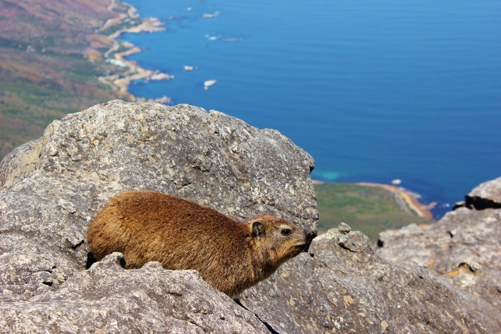 Dassies on Table Mountain in Cape Town, South Africa