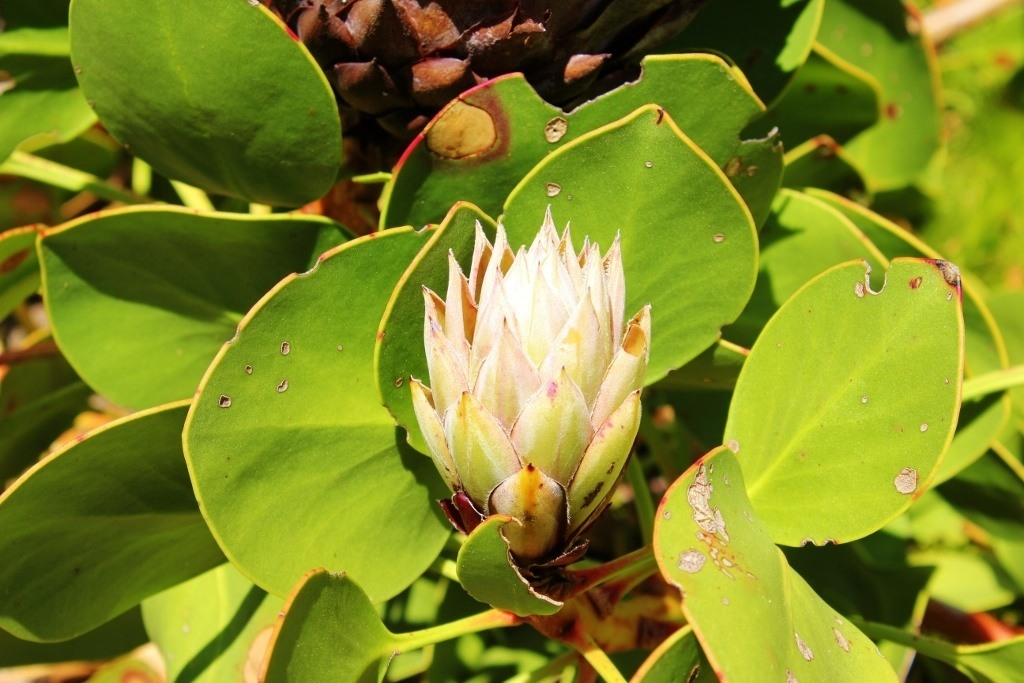 Visiting Kirstenbosch Botanical Garden: The King Protea is the national flower of South Africa...and the name of the Cricket team!