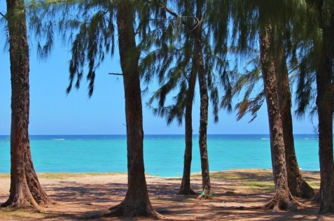 Evergreen trees at Flic en Flac Beach in Mauritius