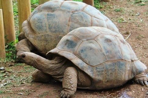 Two tortoises at Chamarel, Mauritius