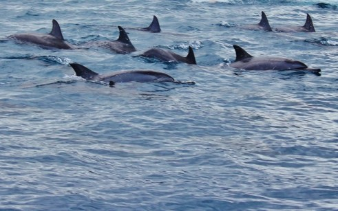 Dolphins swimming in Mauritius