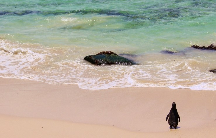 Penguin waddles to sea to take a swim at Boulders Beach, South Africa