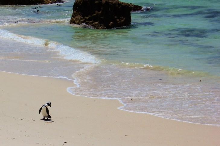 Penguin on beach in Simon's Town, South Africa