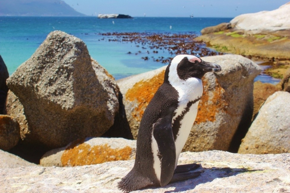 African Penguin at Boulders Beach in Simon's Town, South Africa