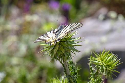 Butterfly on flower on Mount Srd in Dubrovnik, Croatia