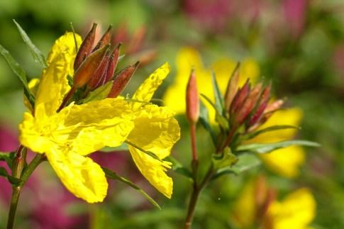 Yellow flowers at Botanical Garden in Zagreb, Croatia
