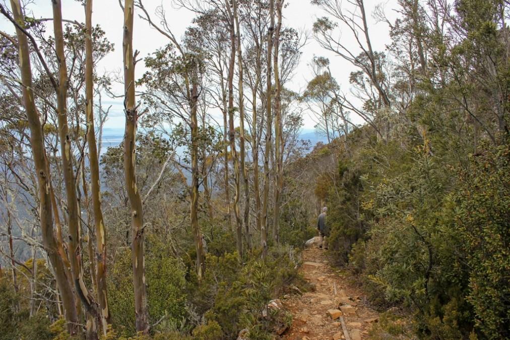 Trees along the trail, Mt Wellington, Hobart, Tasmania, Australia