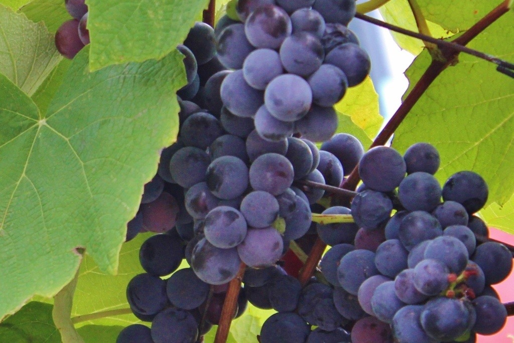 We saw grapes growing in fields and at private homes during our Rovinj Wine Walk