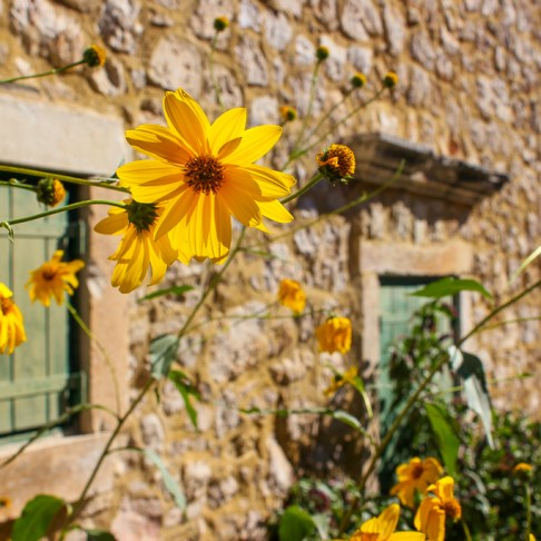 Yellow flowers in front of stone house in Skradin, Croatia