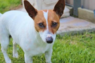 Housesitting Melbourne, Australia Jack Russell Dog Tess