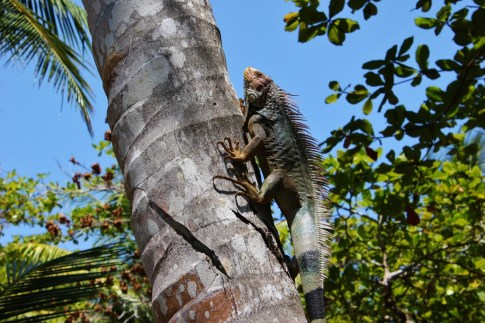 Green Iguana climbing a palm tree in Costa Rica
