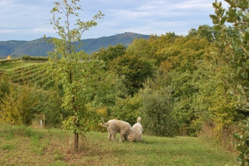 White truffle hunting dogs at Karlic Tartufi in Paladini, Istria, Croatia