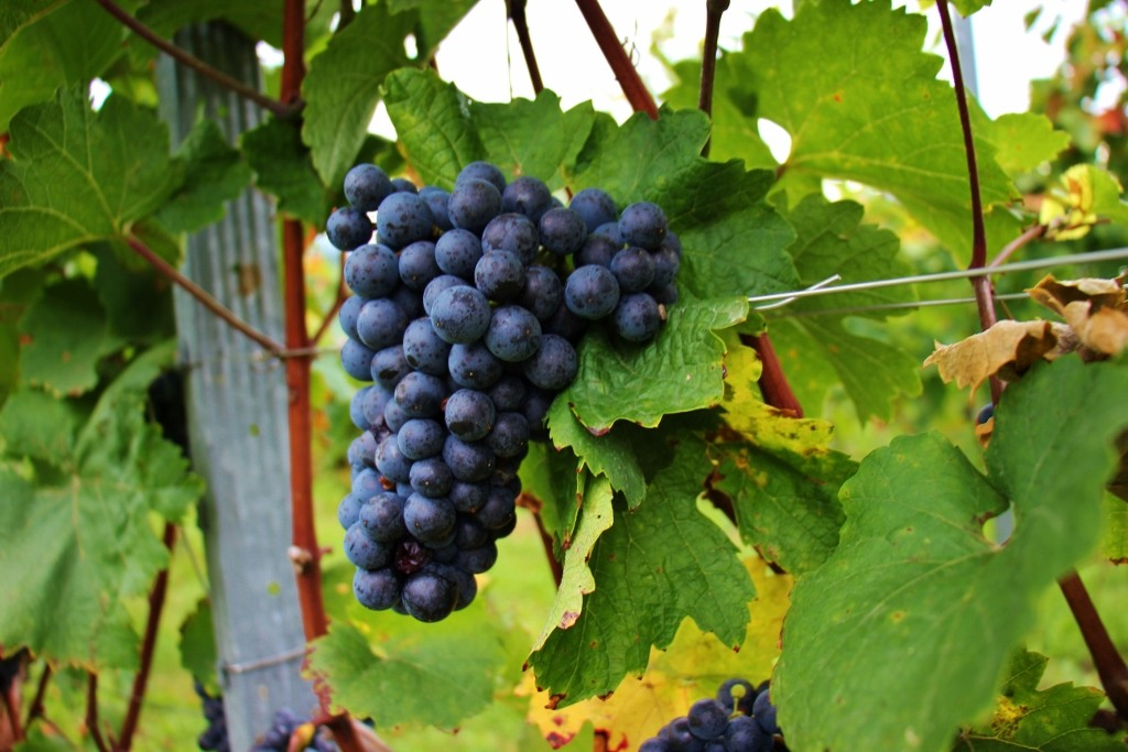 Ripe Wine Grapes Ready for to be harvested for Slovenian Wine