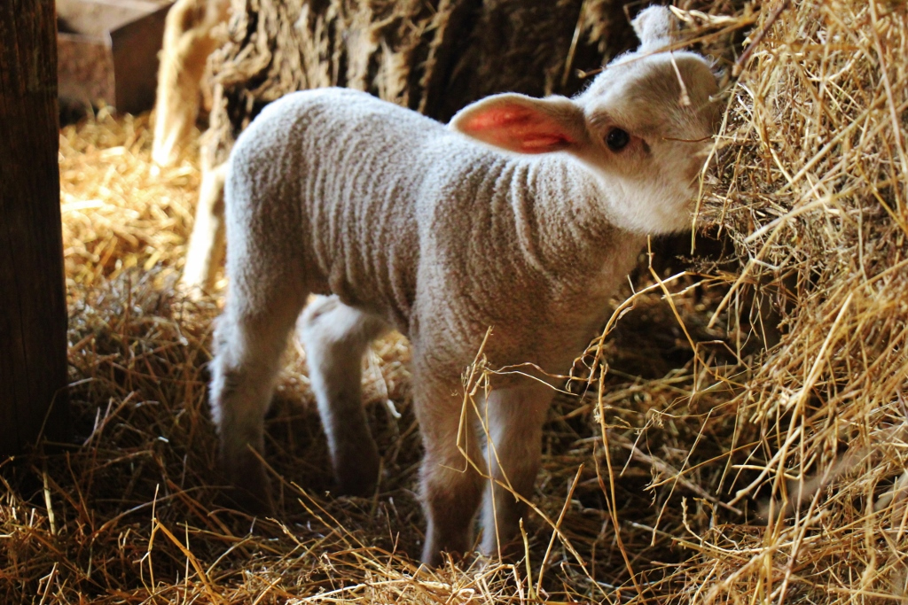 Baby lamb eats at Orlov Put Eco Farm near Osijek, Croatia