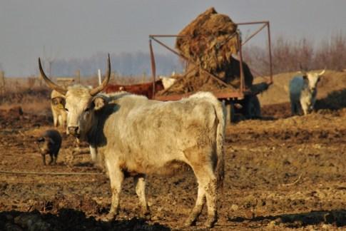 Cattle in field at Orlov Put Eco Farm