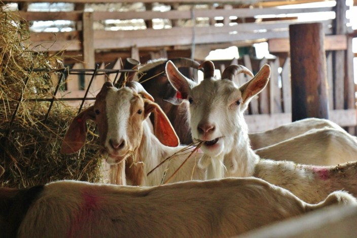 Goats at Orlov Put Eco Farm
