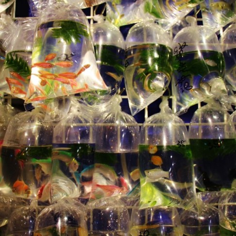 Plastic bags of fish at Goldfish Market in Hong Kong