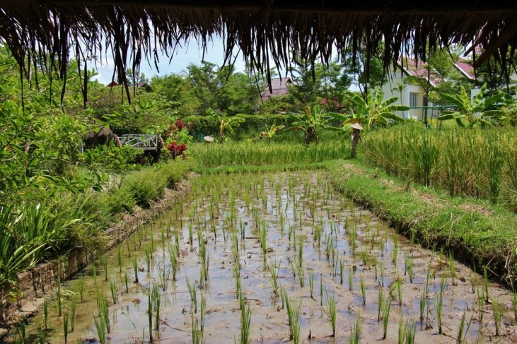Young rice plants in rice field at Living Land Lao Farm in Luang Prabang, Laos