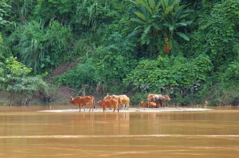 Water Buffalo in the Mekong River, Laos