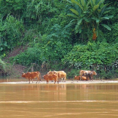 Water Buffalo in the Mekong River, Laos