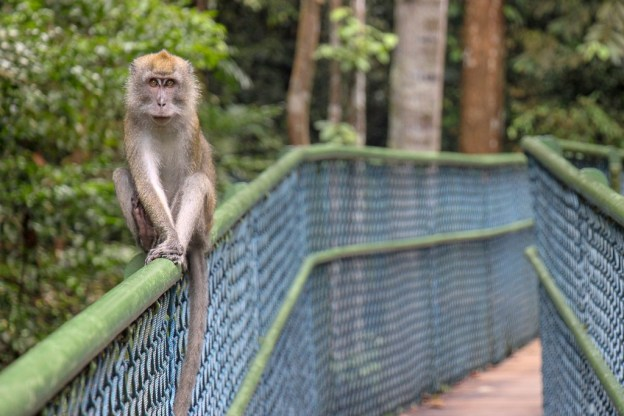 Curious monkey watches as we cross the suspension bridge at Treetop Walk in MacRitchie Reservoir in Singapore