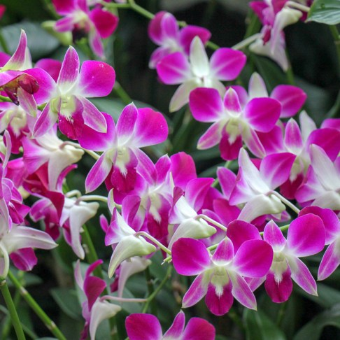 Pink orchids in blossom at Botanical Gardens in Singapore