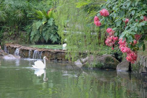 Swan on lake at Botanical Gardens in Singapore