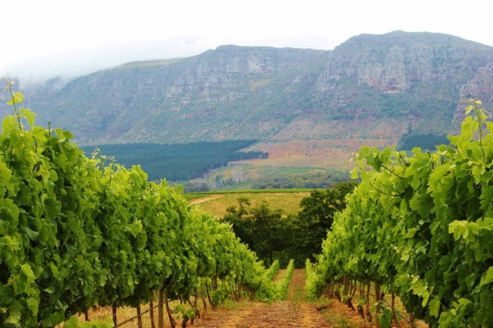 Vineyards at Groot Constantia Wine Estate in Cape Town, South Africa