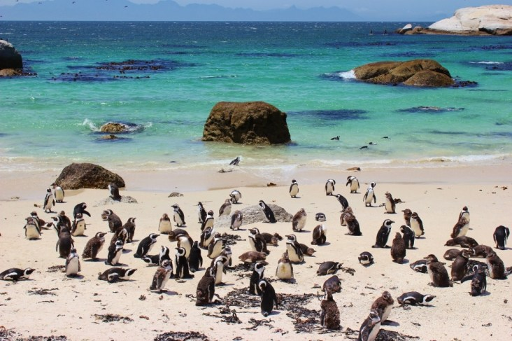 African Penguins on Boulders Beach in Simon's Town near Cape Town, South Africa
