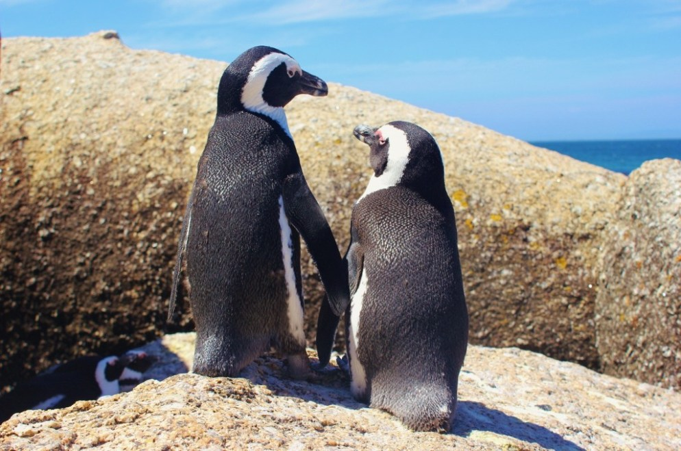 Two penguins hold hands at Boulders Beach near Cape Town, South Africa