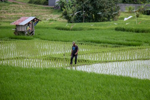 Man walks in rice fields in Canggu, Bali, Indonesia