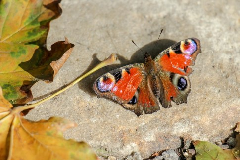 Colorful butterfly in park in Lviv, Ukraine