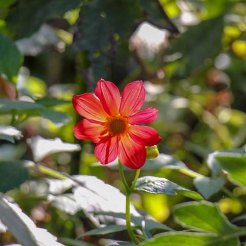 Red flower in bloom at High Castle Park in Lviv, Ukraine