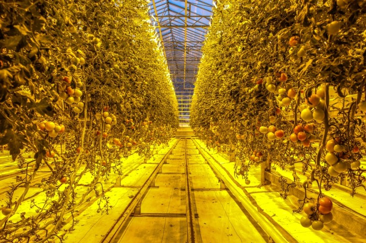 Tomatoes, Fridheimar Greenhouse