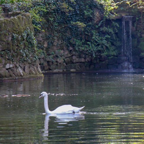 Swan on lake in Valley of the Lakes at Pena Palace Park in Sintra, Portugal