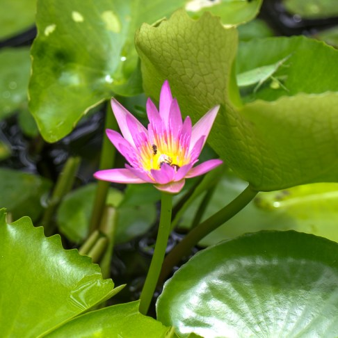 Pink lotus flower with bee in Chiang Mai, Thailand