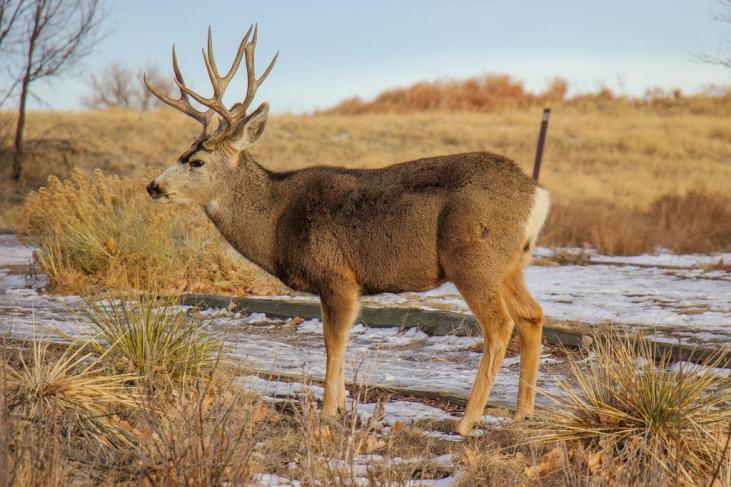 Buck walking close up at the Rocky Mountain Arsenal, Denver, Colorado