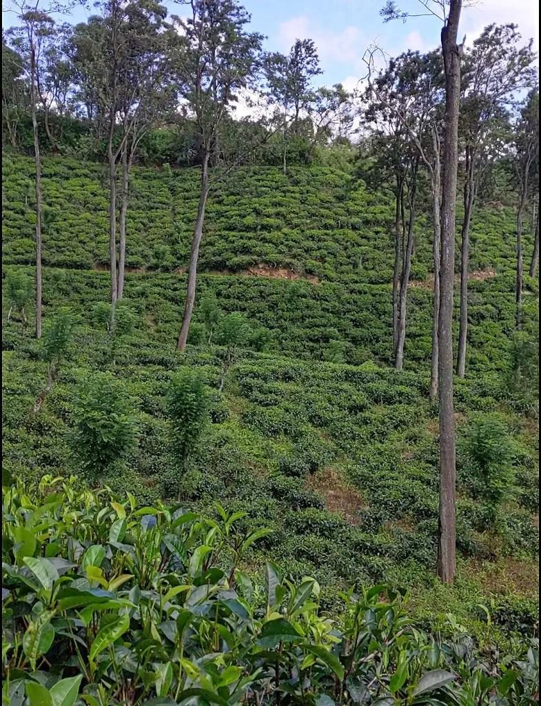 Tea plantation in Ella