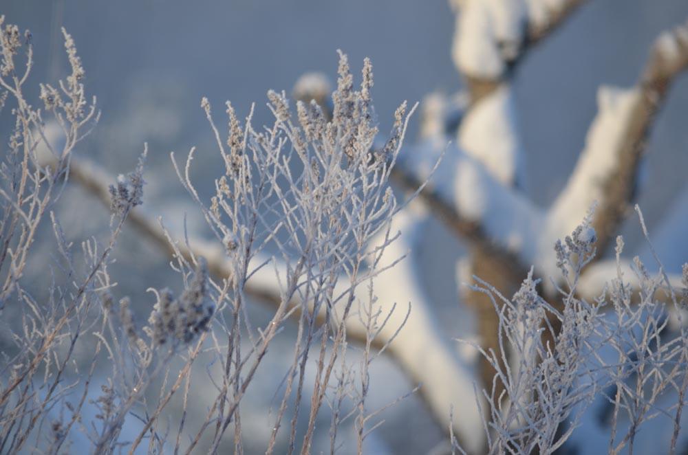 Skira skira grenar blir tydliga i det frostiga vädret