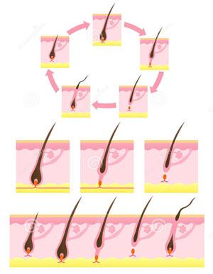cycle-de-vie-cheveu2
