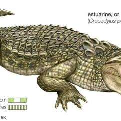 Alligator Food Chain Diagram Car Horn Wiring Crocodile Body Eye Elsavadorla