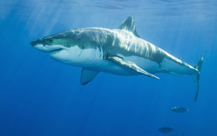 great white shark swimming