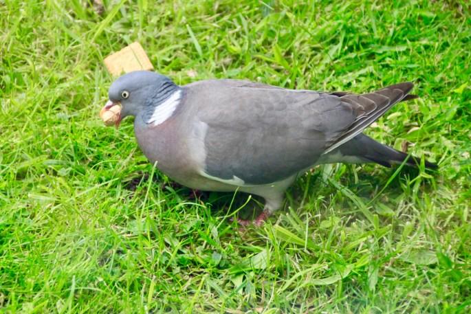 Pigeon by Jez Braithwaite